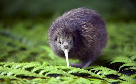 Kiwi-Vogel_feature