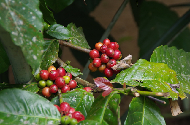 Bali Kaffeplantage25