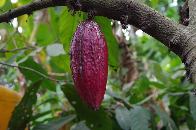 Bali Kaffeplantage6